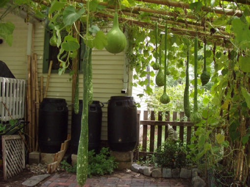 http://www.gourdorchestra.com/gourdgardenweb/pages/11%20Bamboo%20Trellis.htm